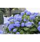 Ballhortensie macrophylla Hydrangea »Endless Summer «-Thumbnail