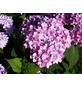Ballhortensie macrophylla Hydrangea »Endless Summer«-Thumbnail