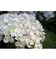 Ballhortensie macrophylla Hydrangea »Endless Summer The Bride«-Thumbnail