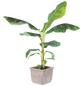 Bananenpflanze Musa Oriental Dwarf »Oriental Dwarf«-Thumbnail