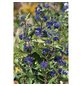 GARTENKRONE Bartblume, Caryopteris clandonensis »First Choise«, blau, winterhart-Thumbnail