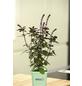 GREENBAR Basilikum 3er Set, Ocimum Basilicum, Blütenfarbe: lila-Thumbnail