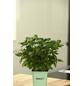 GREENBAR Basilikum 3er Set, Ocimum Basilicum, Blütenfarbe: weiß-Thumbnail