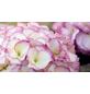 Bauernhortensie macrophylla Hydrangea »Kanmara die Schöne«-Thumbnail