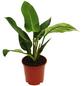 Baumfreund, Imperial Green Philodendron, Topf-Ø: 19cm-Thumbnail