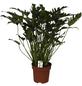 Baumfreund Philodendron cultivars »Xanadu«-Thumbnail