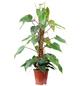 Baumfreund, Philodendron, im Topf-Thumbnail
