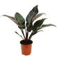 Baumfreund Philodendron  »Imperial Red«-Thumbnail