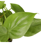 GARTENKRONE Baumfreund Philodendron scandens-Thumbnail