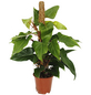 Baumfreund, Red Emerald Philodendron-Thumbnail