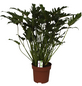 Baumfreund, Xanadu Philodendron-Thumbnail