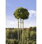 MR. GARDENER Baumpfahl, Holz, BxHxT: 7 x 250 x 7 cm, rund, angespitzt-Thumbnail