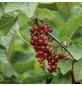 GARTENKRONE Beerenstrauch »Rote Johannisbeere«, Weiß-Thumbnail