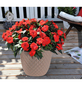 GARTENKRONE Beetpflanzen-Set-Thumbnail