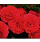 Beetrose »Cherry Girl ®«, Rosa, Blüte: rot-Thumbnail