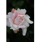 Beetrose »Constanze Mozart ®«, Rosa, Blüte: blassrosa-Thumbnail