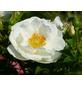 Beetrose »Innocencia ®«, Rosa, Blüte: weiß-Thumbnail