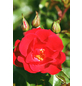 Beetrose »Lucky Cover®«, Rosa, Blüte: rot-Thumbnail