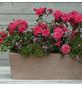 KORDES ROSEN Beetrose, Rosa »Bad Birnbach®«, Blüte: rosa/pink, halbgefüllt-Thumbnail