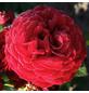 KORDES ROSEN Beetrose, Rosa »Bordeaux®«, Blüte: rot, gefüllt-Thumbnail