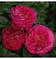 KORDES ROSEN Beetrose, Rosa »Freifrau Caroline®«, Blüte: rosa/pink, gefüllt-Thumbnail