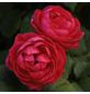 KORDES ROSEN Beetrose, Rosa »Gartenprinzessin Marie-Jose®«, Blüte: rosarot, gefüllt-Thumbnail