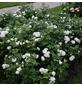 KORDES ROSEN Beetrose, Rosa »Herzogin Christiana®«, Blüte: weiß/rosa, gefüllt-Thumbnail