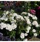 KORDES ROSEN Beetrose, Rosa »Lions-Rose®«, Blüte: cremeweiß, gefüllt-Thumbnail