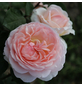 KORDES ROSEN Beetrose, Rosa »Märchenzauber®«, Blüte: apricot, gefüllt-Thumbnail
