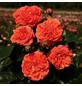 KORDES ROSEN Beetrose, Rosa »Orangerie®«, Blüte: orange, gefüllt-Thumbnail
