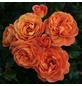 KORDES ROSEN Beetrose, Rosa »Phoenix®«, Blüte: orange, gefüllt-Thumbnail