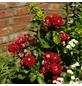 KORDES ROSEN Beetrose, Rosa »Rose der Einheit®«, Blüte: rot, halbgefüllt-Thumbnail