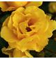 KORDES ROSEN Beetrose, Rosa »Sunshine®«, Blüte: gelb, halbgefüllt-Thumbnail