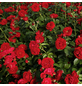 KORDES ROSEN Beetrose, Rosa »Till Eulenspiegel®«, Blüte: rot, gefüllt-Thumbnail