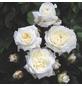 ROSEN TANTAU Beetrose, Rosa x hybrida »Alabaster«, Blüte: weiß, gefüllt-Thumbnail
