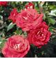 ROSEN TANTAU Beetrose, Rosa x hybrida »Heimatmelodie«, Blüte: rot, halbgefüllt-Thumbnail