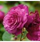 ROSEN TANTAU Beetrose, Rosa x hybrida »Kaffe Fassett«, Blüte: violett, gefüllt-Thumbnail