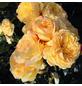 ROSEN TANTAU Beetrose, Rosa x hybrida »Lampion«, Blüte: gelb, gefüllt-Thumbnail