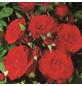 ROSEN TANTAU Beetrose, Rosa x hybride »Montana«, Blüte: rot, halbgefüllt-Thumbnail