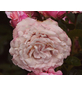 Beetrose »Rosenfaszination ®«, Rosa, Blüte: rosa-Thumbnail
