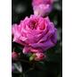Beetrose »Rosenfee ®«, Rosa, Blüte: rosa-Thumbnail