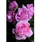 Beetrose »Rosengräfin Marie Henriette ®«, Rosa Parfuma Kollektion, Blüte: rosa-Thumbnail