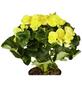 GARTENKRONE Begonie, Begonia elatior, Blüte: gelb-Thumbnail