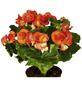 GARTENKRONE Begonie, Begonia elatior, Blüte: orange-Thumbnail