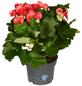 GARTENKRONE Begonie, Begonia elatior, Blüte: rosa-Thumbnail