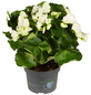 GARTENKRONE Begonie, Begonia elatior, Blüte: weiß-Thumbnail