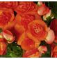 GARTENKRONE Begonie »Begonia Elatior«, Orange-Thumbnail