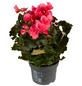 GARTENKRONE Begonie »Begonia Elatior«, Rosa-Thumbnail