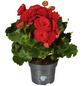 GARTENKRONE Begonie »Begonia Elatior«, Rot-Thumbnail
