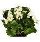 GARTENKRONE Begonie »Begonia Elatior«, Weiß-Thumbnail